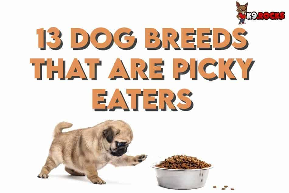 13 Dog Breeds That Are Picky Eaters