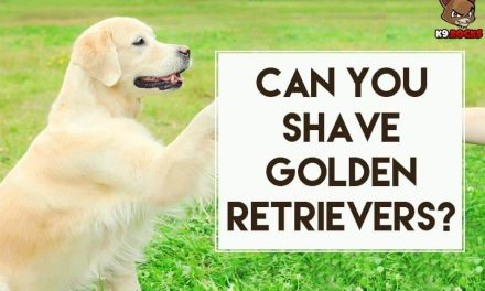 Can You Shave Golden Retrievers?