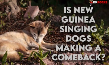 Is New Guinea Singing Dogs Making A Comeback?