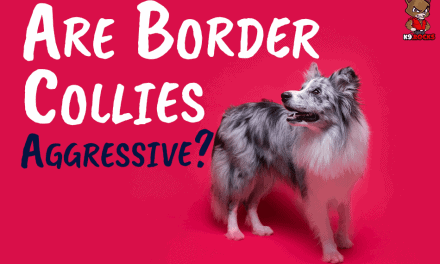 Are Border Collies Aggressive?