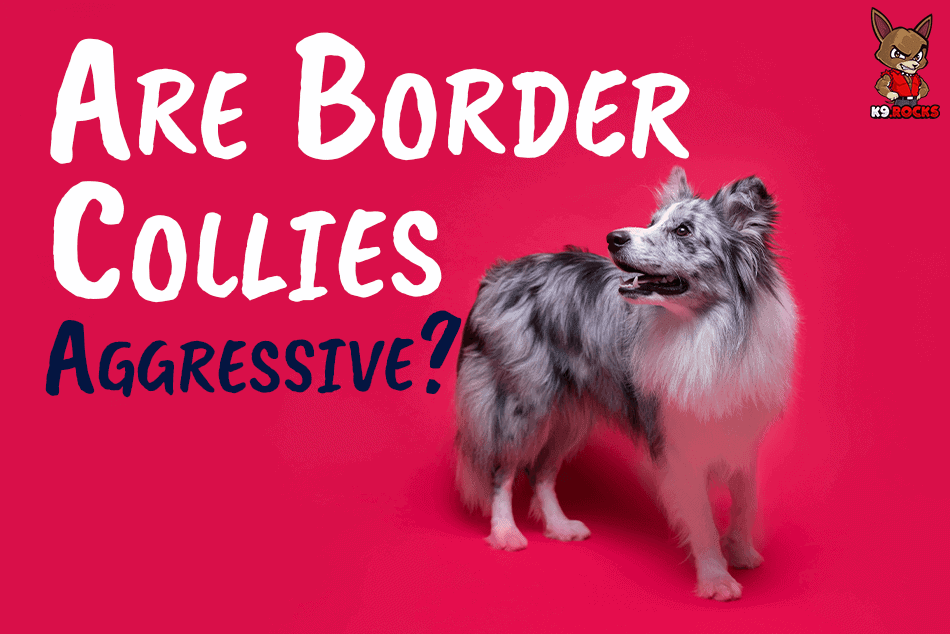 Are Border Collies Aggressive?