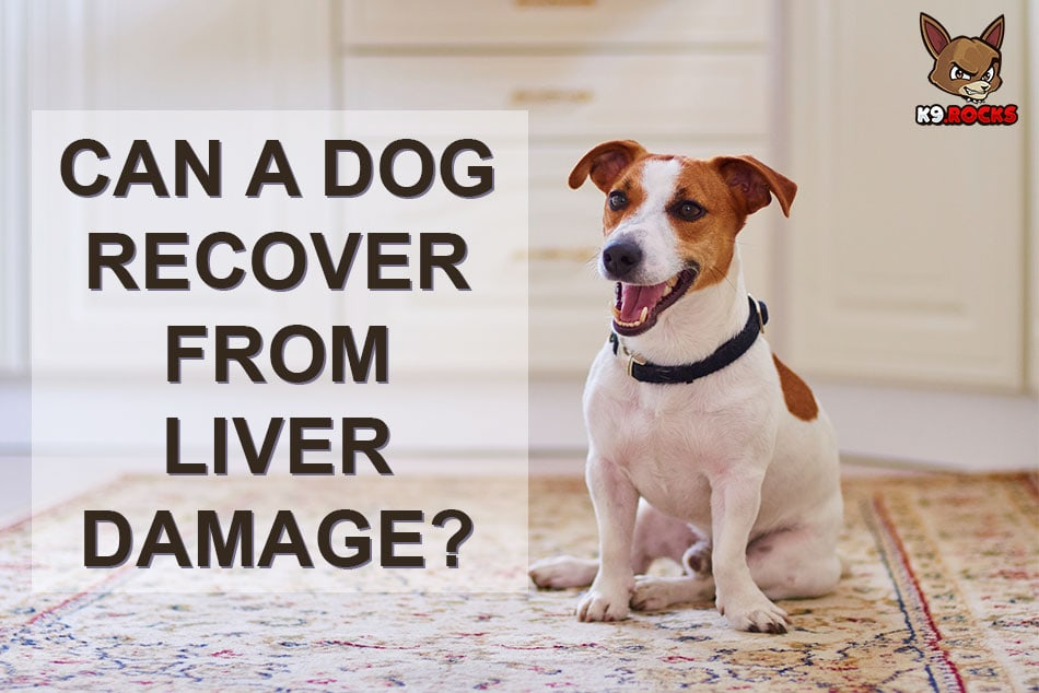 Can a Dog Recover From Liver Damage?