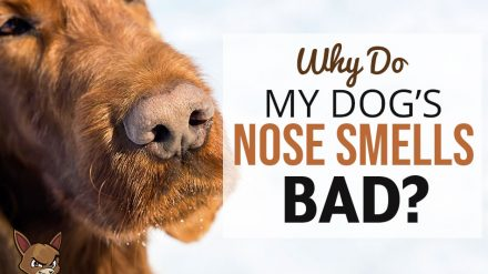 Why Do My Dog's Nose Smells Bad?