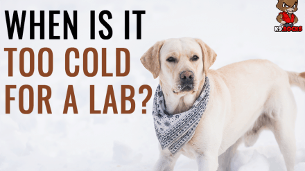 When Is It Too Cold for A Lab?