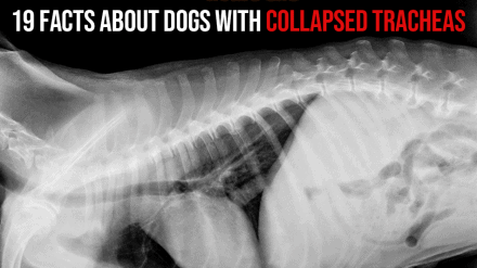 19 Facts About Dogs with Collapsed Tracheas