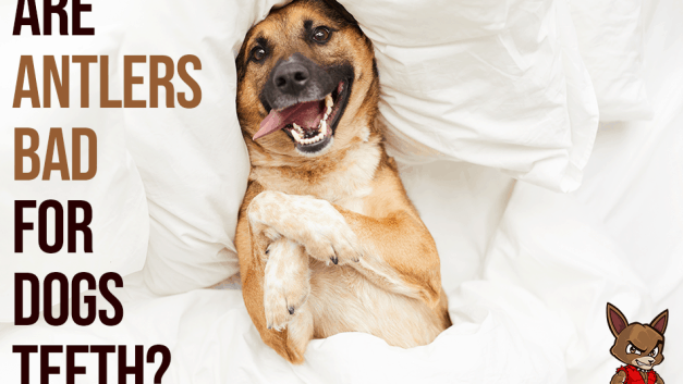 Are Antlers Bad for Dog's Teeth?